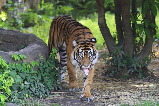 狩りをする虎